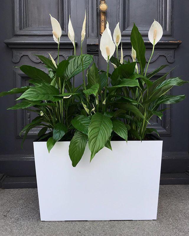 Skrzydlokwiat Spathiphyllum Country House Decor Home Decor Styles Diy Decor