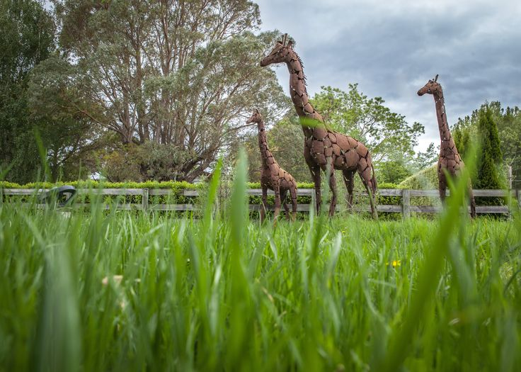 The very first set of Birdwoods giraffes, made over 20 years ago in Zimbabwe from recycled 44 gallon drums. Now resident in New Zealand, keeping watch over the sculpture garden at Birdwoods Gallery in Havelock North, Hawke's Bay.