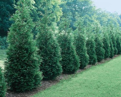 Thuja Can Can. Smaller version of Thuja Green Giant - this privacy screen tops out at 8-10' tall.