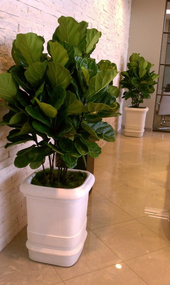 17 best images about fiddle or ficus lyrata on pinterest trees plants and artificial plants. Black Bedroom Furniture Sets. Home Design Ideas