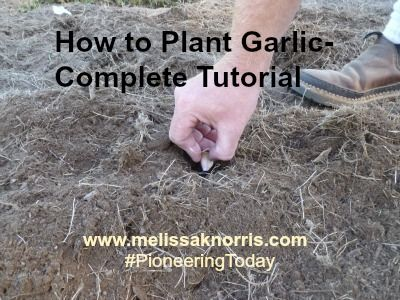 How to plant garlic tutorial. Plus tips for choosing what garlic best suits your needs.
