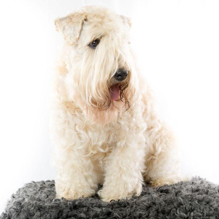 Soft coated wheaten terrier irlandés: características y fotos