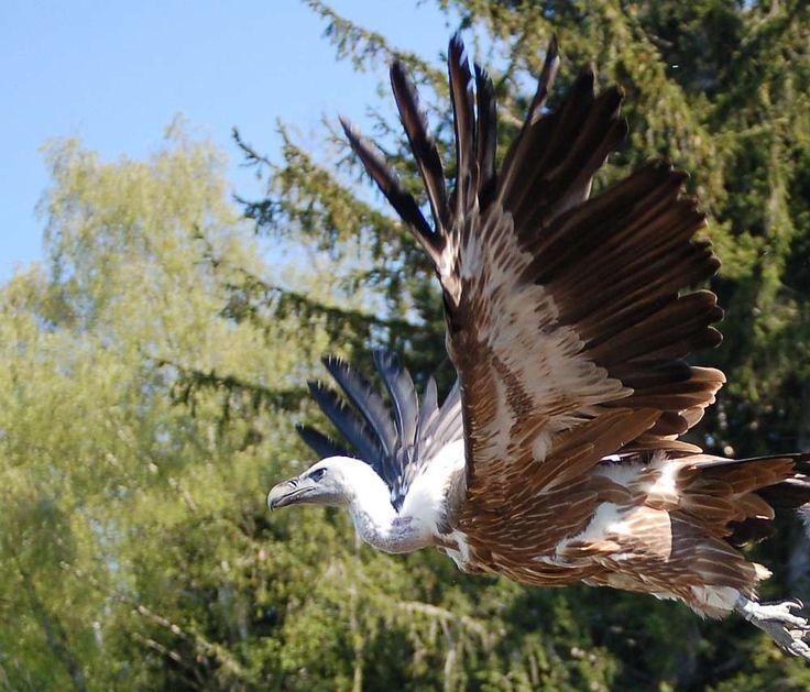 gänsegeier im abflug  vögel im flug flug abflug