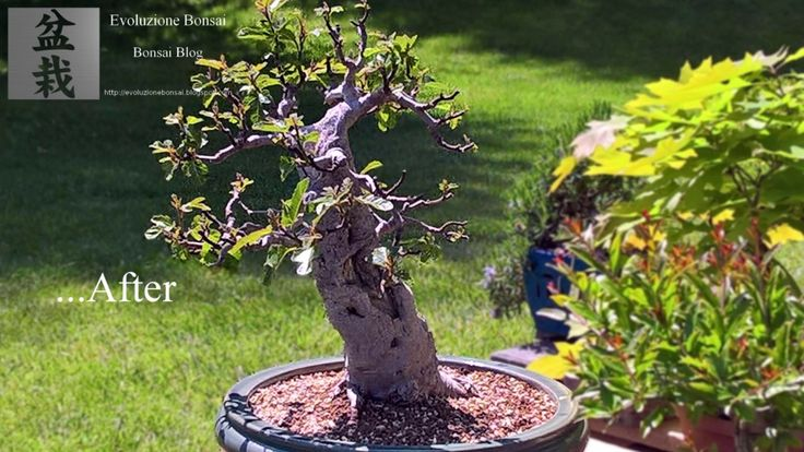 how to look after a bonsai fig tree
