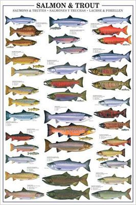 SALMON AND TROUT Fish Wall Chart Poster - 17 Species - Fishing Reference Print - Eurographics Inc.