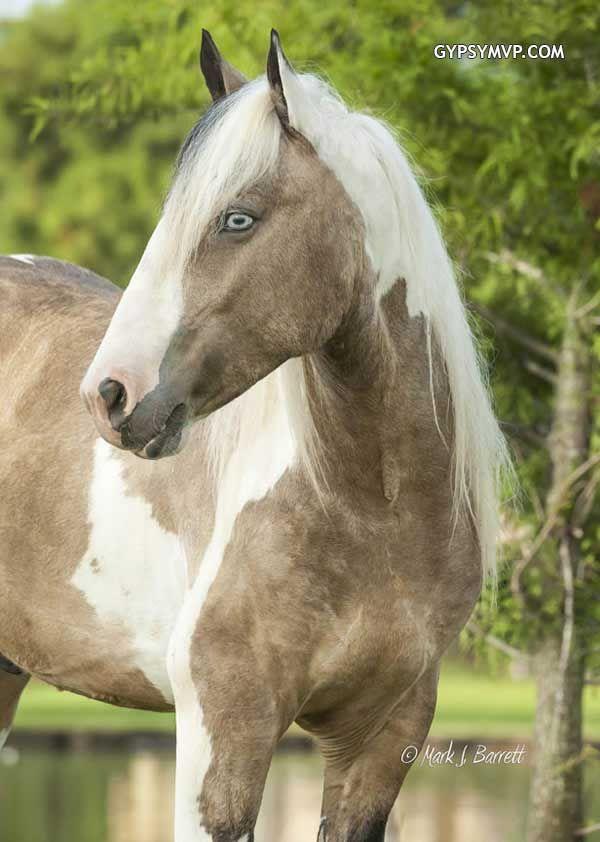 Gypsy Vanner Horses for Sale | Gelding | Buckskin & White| Tough Love