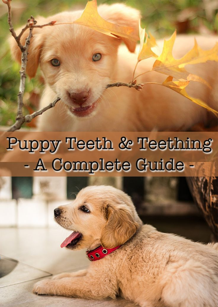 Everything you ever wanted to know about Puppy Teeth & Teething