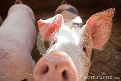 Two White Young Pigs - Download From Over 55 Million High Quality Stock Photos, Images, Vectors. Sign up for FREE today. Image: 50646412