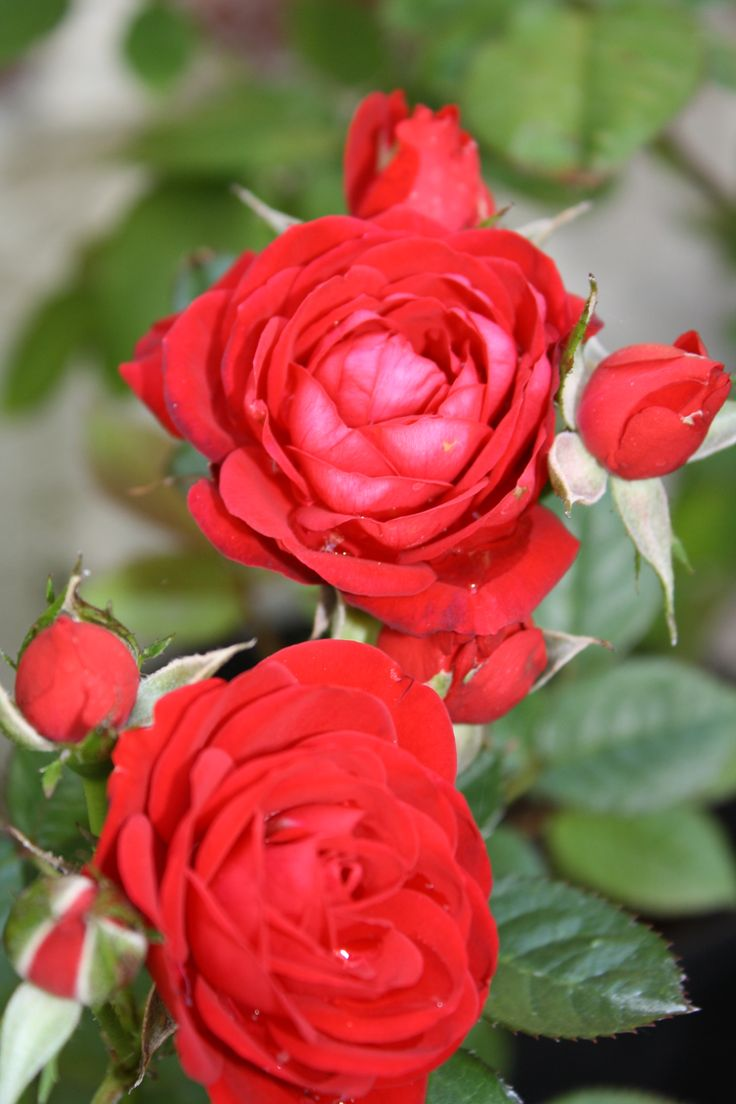 347 best happy valentines day images on pinterest flowers red roses dhlflorist Image collections