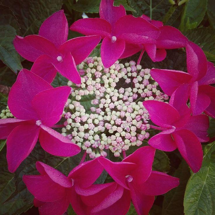 #hortensie #tellerhortensie #flower #blossom #pink #vorgarten #frontyard #hydrangea #hydrangeas #karlsruhe #igerskarlsruhe #visitkarlsruhe #karlsruhetweets #huaweip8lite #huawei #nature #naturelover
