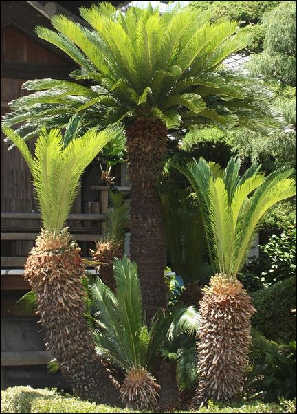 Mine aren't this big but I have really nice size one on our deck. I grew it from a seed from my aunt's tree.  http://www.sunpalmtrees.com/Cold-Hardy-Palm-Trees-Sago-Palms.htm