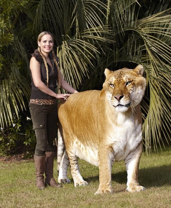 largest living cat hercules an adult male liger lion x tigress hybrid on january 2013