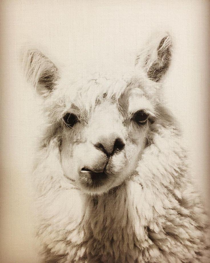Drama llama ~~~~ #theme #photography #llama #picture http://butimag.com/ipost/1554010194483187719/?code=BWQ9AnTgZAH