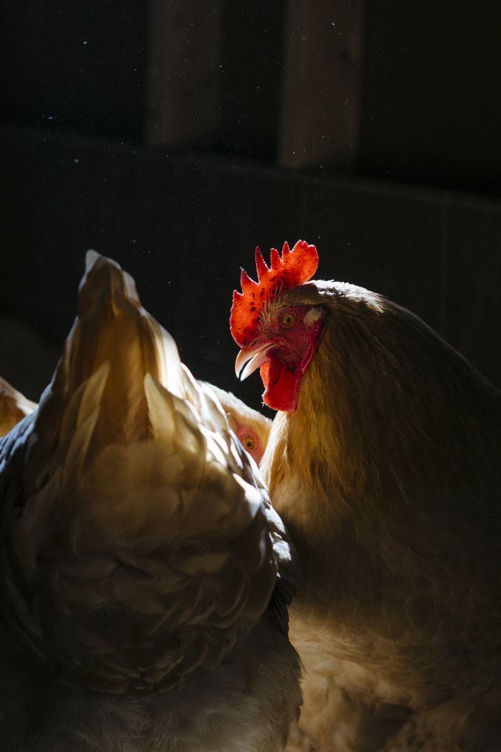 U.S. Confirms Avian Influenza in Tennessee Chicken Flock   Fortune.com