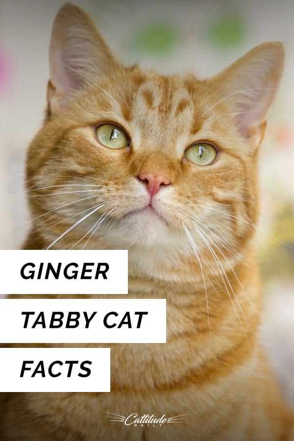 Feline 411 All About Ginger Tabby Cats With Images Tabby Cat Cat Facts Orange Tabby Cats