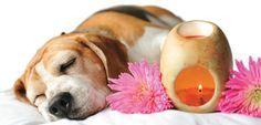 Aromaterapia para perros con esencias florales - http://www.mundoperros.es/aromaterapia-para-perros-con-esencias-florales/