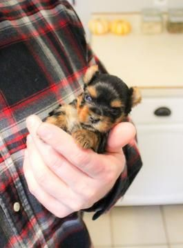 Yorkie Puppies for Sale | Lancaster Puppies – Puppies