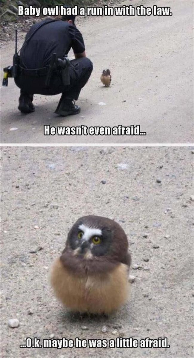 Baby Owl Had A Run In With The Law He Wasn T Even Afraid Ok Maybe He Was A Little Afraid Cute Funny Animals Animal Jokes Funny Animal Jokes
