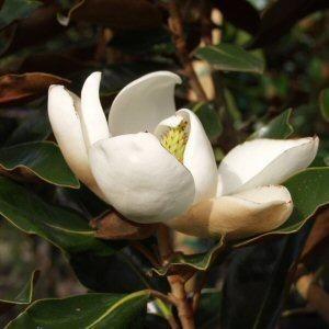 Magnolia 'little gem'-- flower