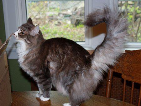 Norwegian Forest Cat Kittens For Sale Minnesota