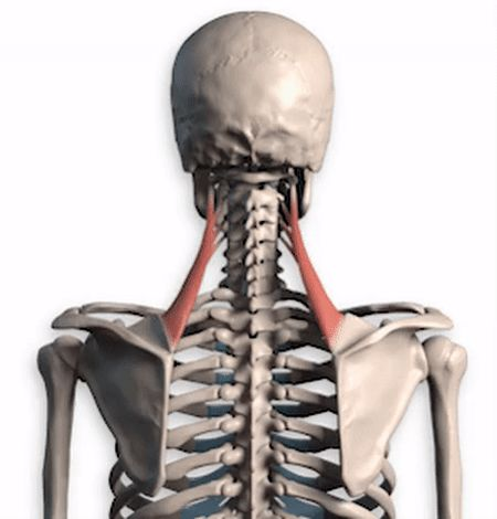 neck_muscles_anatomy_motion_ref_1 #MuscleAnatomy