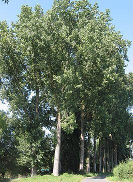 Canadese populier (Populus canadensis)De snelgroeiende bomen kunnen tot 40 m hoog worden. De maximale leeftijd van de populier ligt op ongeveer tweehonderd jaar. Voor een goede groei hebben de bomen veel licht nodig.