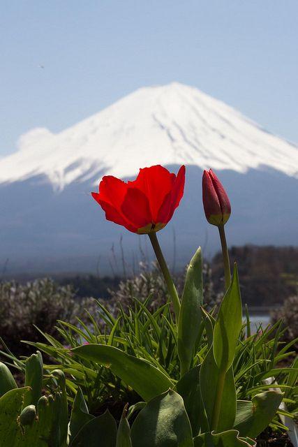 Red tulips, Mount Fuji, Lake Kawaguchi, Yamanashi, Japan - Our Friday favourite photo. Beautiful <3