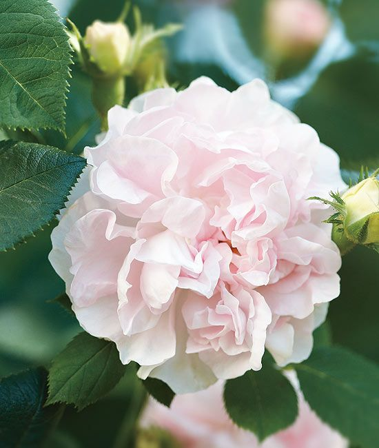 """great maidens blush rose It's origins are unknown, but it predates 1400) Maiden Blush Rose symbolises   """"If you love me, you will find it out"""" In the Victorian language of flowers."""
