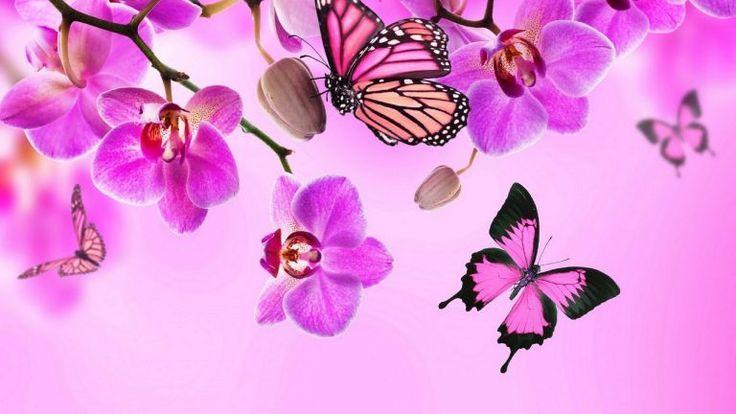 Hintergrundbilder Schmetterlinge Pink