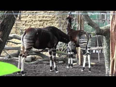 Blijdorp Okapi Kamina met dochter M'buti - YouTube