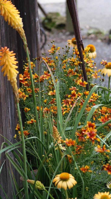 Kniphofia Echo Mango, Echinacea Harvest Moon , Coreopsis Sunset Strip