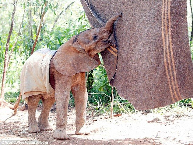 Orphaned baby elephant with 'comfort blanket' at the David Sheldrick Wildlife Trust in Nairobi, Kenya