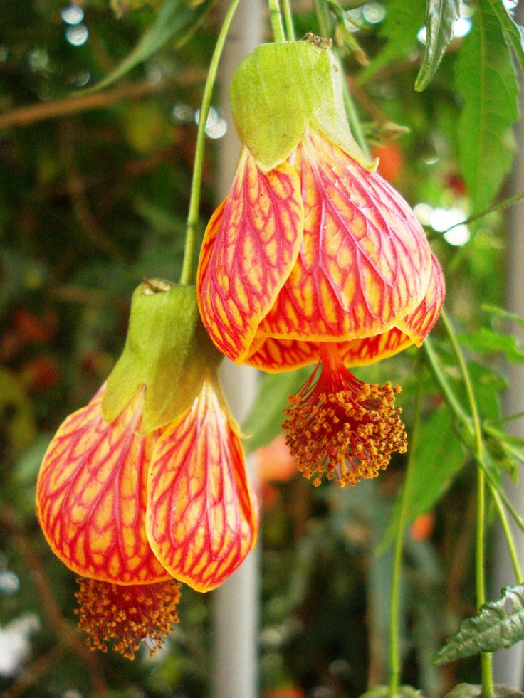 best abutilon..monly known as ''chinese bell flower, Beautiful flower