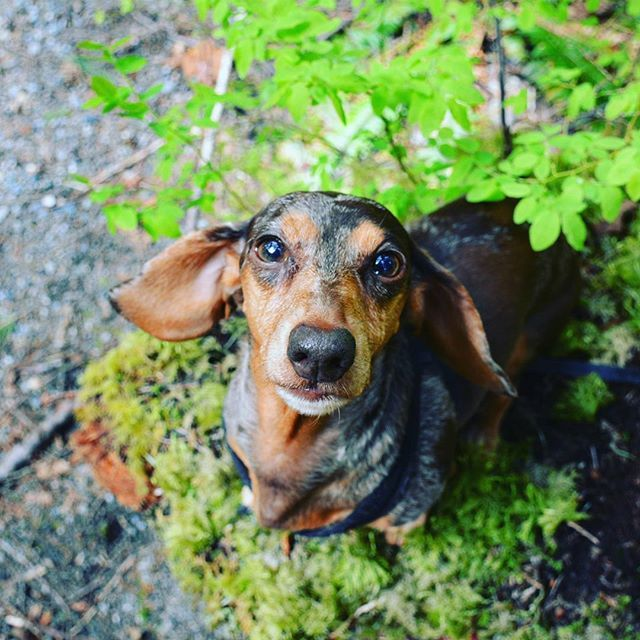 Oh That Sweet Baby Face I Lurv Dachshunds Funny Dachshund