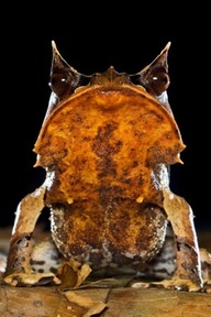 allcreatures:   Sabah, northern Borneo A Bornean horned frog  Picture: Alamy (via Animals in the wild: wildlife around the world - Telegraph)