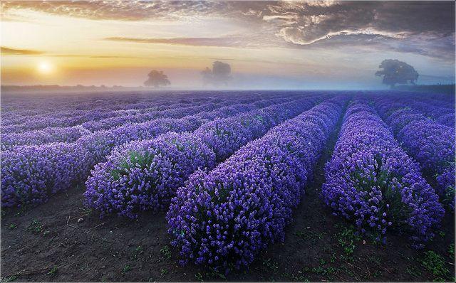 Lavender Dawn by Sandra OTR, via Flickr ~ Faulkland, England