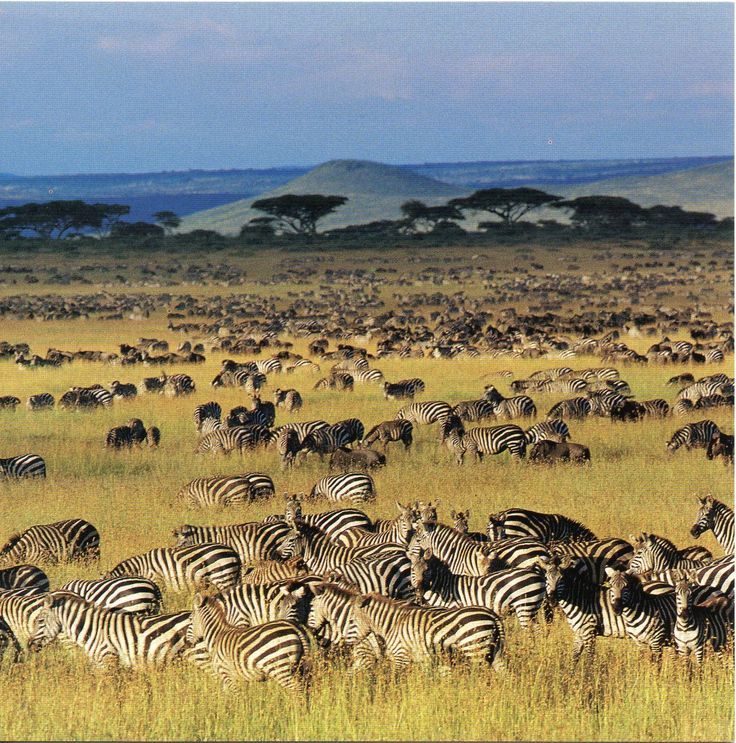 Serengeti plains is flooded with wildebeest and zebras, great safaris experience in Kenya Tanzania tours.