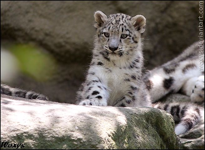 Cute baby snow leopard cubs - photo#25