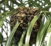 Bee Aware: Africanized Honey Bee population is continuously growing in Florida. These invasive pests are dangerous and difficult to eradicate. Look, listen and run.