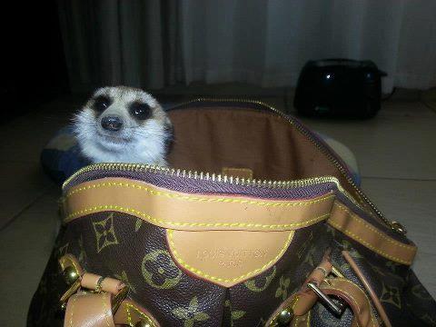 Ratty enjoying Louis Vuitton