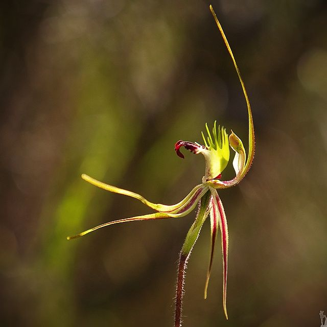 Spider orchid 2...