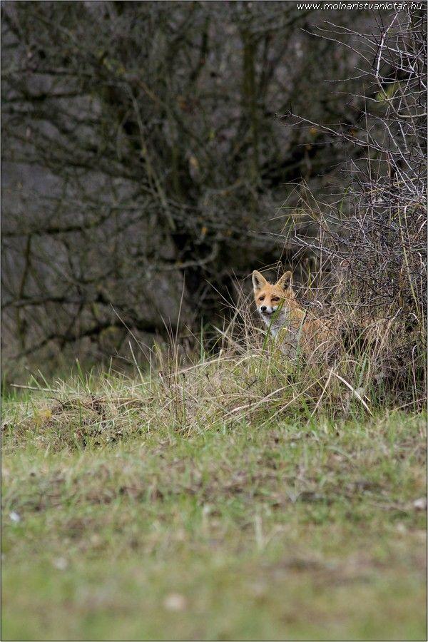 várakozó vörös róka