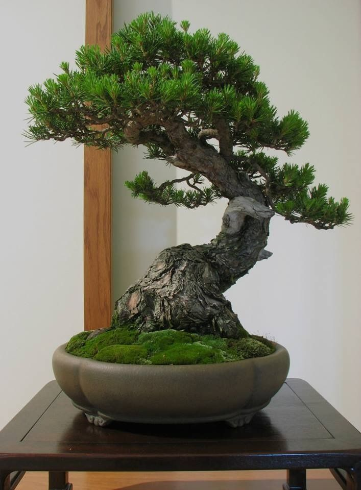 Black Pine bonsai - I've never had much luck with pines as bonsai but I should keep my eye out for good nursery stock and try some.