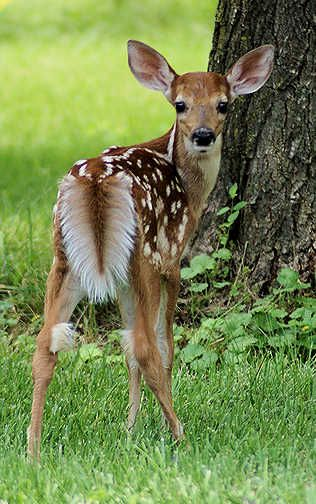 Edge Of The Plank: Cute Animals: Baby Deer