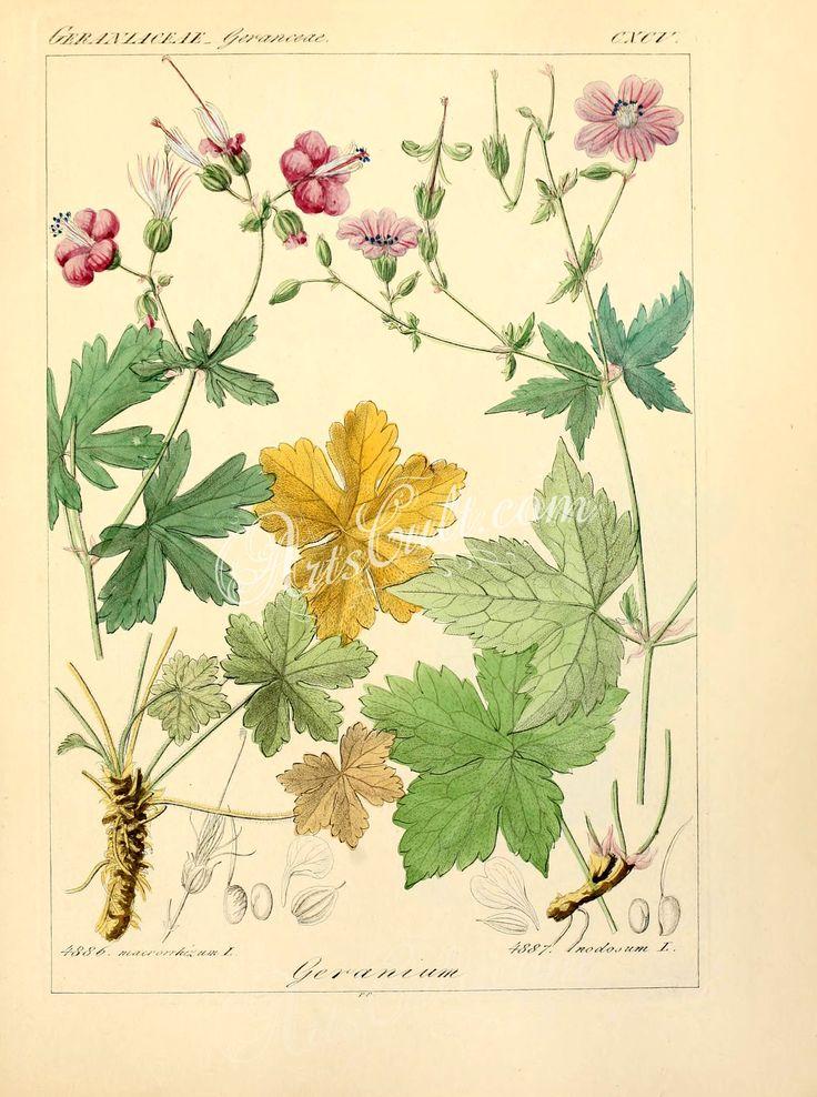 geranium macrorrhizum, geranium nodosum      ...