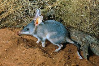 Bilby-grande (Macrotis lagotis) é uma espécie de marsupial da família Thylacomyidae, endêmica da Austrália. É uma espécie onívora, se alimentando de insetos e animais pequenos, lagartixas, vermes, larvas e aranhas.