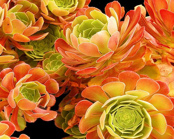 Aeonium 'Blushing Beauty'