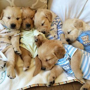 Golden Retriever puppies!