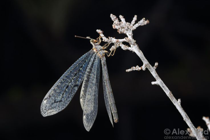 Adult antlions superficially resemble damselflies, but they are actually relatives of lacewings.  Sierra Nevada mountains, California, USA