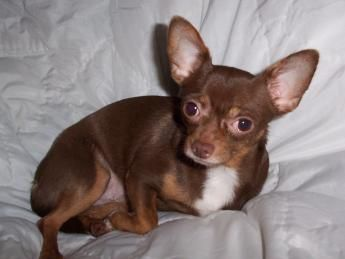 Google Image Result For Http Www Chihuahua Chic Com